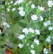 Stevia, Sweet leaf of Paraguay, Sweet-herb, Honey yerba, Honeyleaf, Candy leaf Herbaceous Plant (white)