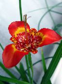 Tigridia, Mexican Shell-flower Herbaceous Plant (red)