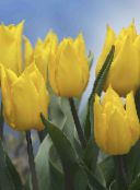 Tulip Herbaceous Plant (yellow)