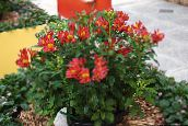 Peruvian Lily Herbaceous Plant (red)
