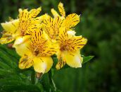Peruvian Lily Herbaceous Plant (yellow)