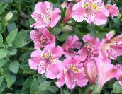 Peruvian Lily Herbeux (rose)