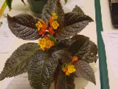 Chrysothemis Herbaceous Plant (yellow)