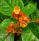 Chrysothemis Herbaceous Plant (red)