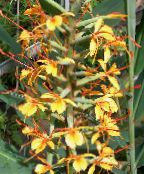 Hedychium, Butterfly Ginger Herbaceous Plant (orange)