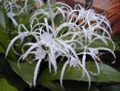 Spider Lily Herbaceous Plant (white)