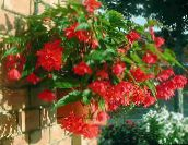 Begonia Herbaceous Plant (red)