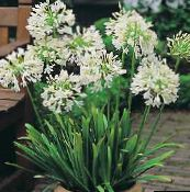 African blue lily Herbaceous Plant (white)