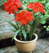 Vallota Herbaceous Plant (red)