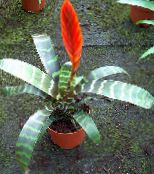 Vriesea Herbaceous Plant (red)