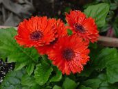 Daisy Transvaal Herbeux (rouge)