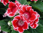 Sinningia (Gloxinia) Herbaceous Plant (red)