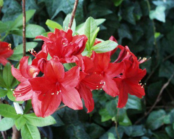 foto Pot Blomster Azalea, Pinxterbloom busk, Rhododendron rød