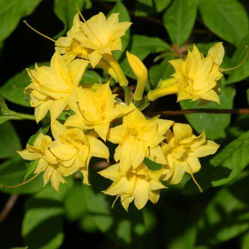 foto Pot Blomster Azalea, Pinxterbloom busk, Rhododendron gul