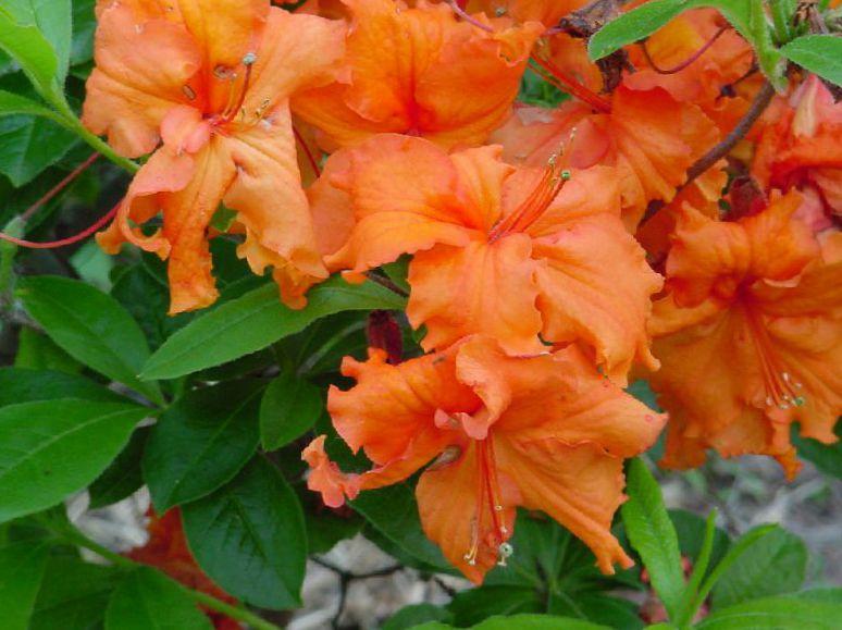 foto Pot Blomster Azalea, Pinxterbloom busk, Rhododendron appelsin
