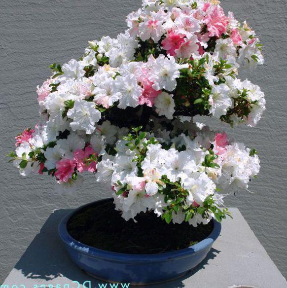foto Pot Blomster Azalea, Pinxterbloom busk, Rhododendron hvid