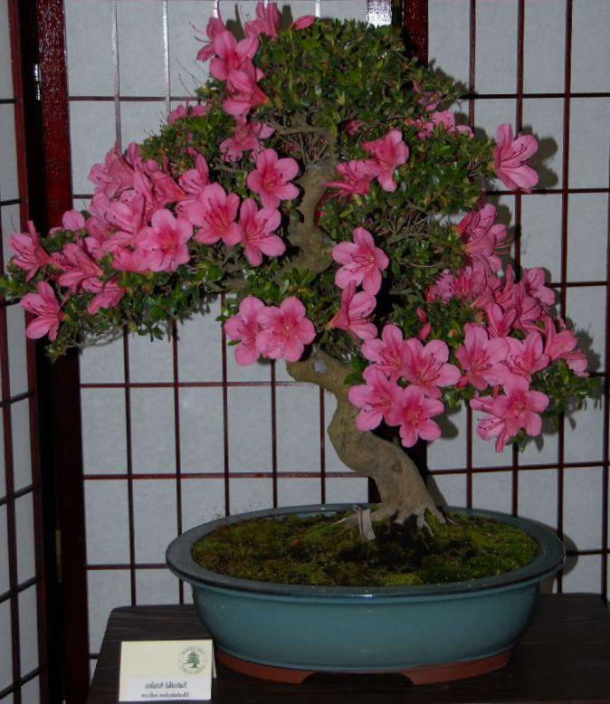 foto Pot Blomster Azalea, Pinxterbloom busk, Rhododendron pink