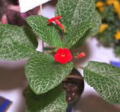 Episcia Herbaceous Plant (red)