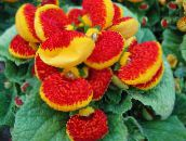 Slipper flower Herbaceous Plant (red)