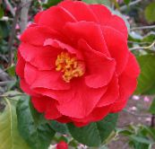 Camellia Tree (red)