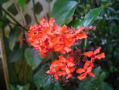 Clerodendron Shrub (red)