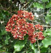 Red Leea, West Indian Holly, Hawaiian Holly Shrub (red)
