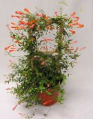 Candy Corn Vine, Firecracker Plant Liana (red)