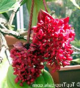 Showy Melastome Shrub (red)